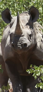 Learn about the cost of living with black rhino