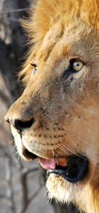 Learn about the cost of living with lions and other predators