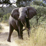 Elephant. Photo: NACSO/WWF in Namibia