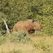Black rhino. Photo: NACSO/WWF