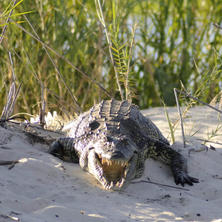 Crocodile. Photo: NACSO/WWF in Namibia