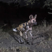 Wild dog. Photo: KAZA camera trap