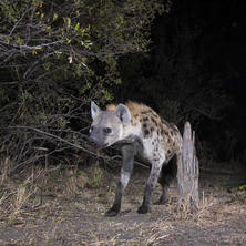 Hyena. Photo: NACSO/WWF in Namibia