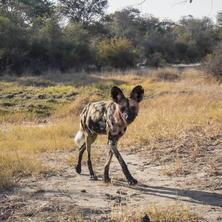 Wild dog. Photo: KAZA camera trap