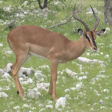 Black-faced impala. Photo: Alice Jarvis