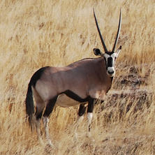 Gemsbok. Photo: Alice Jarvis