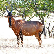 Red hartebeest. Photo: Alice Jarvis