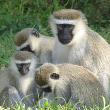 Vervet monkey. Photo: Alice Jarvis
