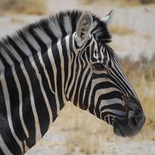 Plains zebra. Photo: Alice Jarvis