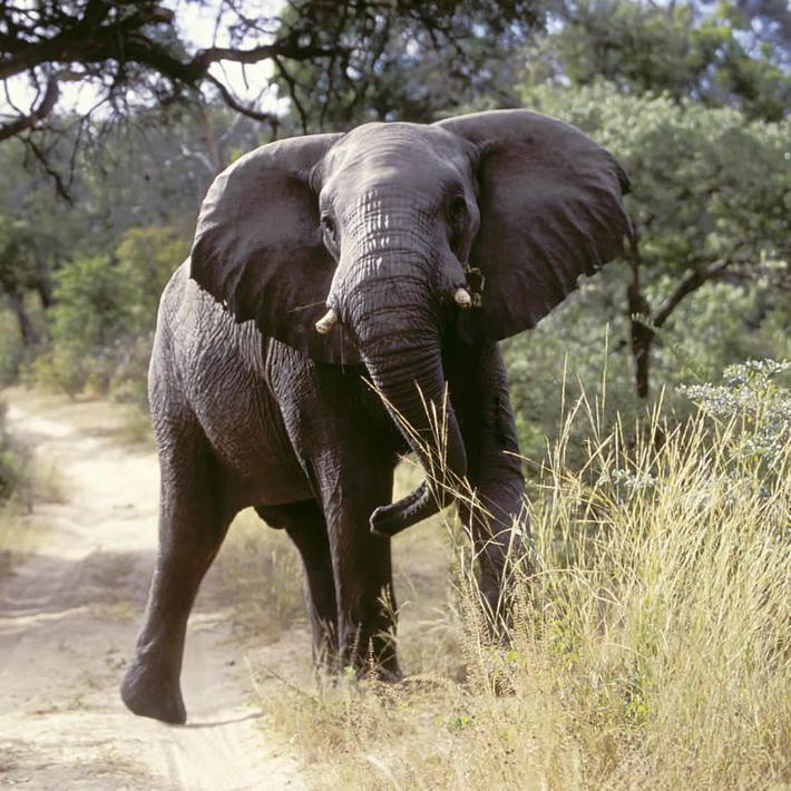 Elephant. Photo: NACSO/WWF in Namibia