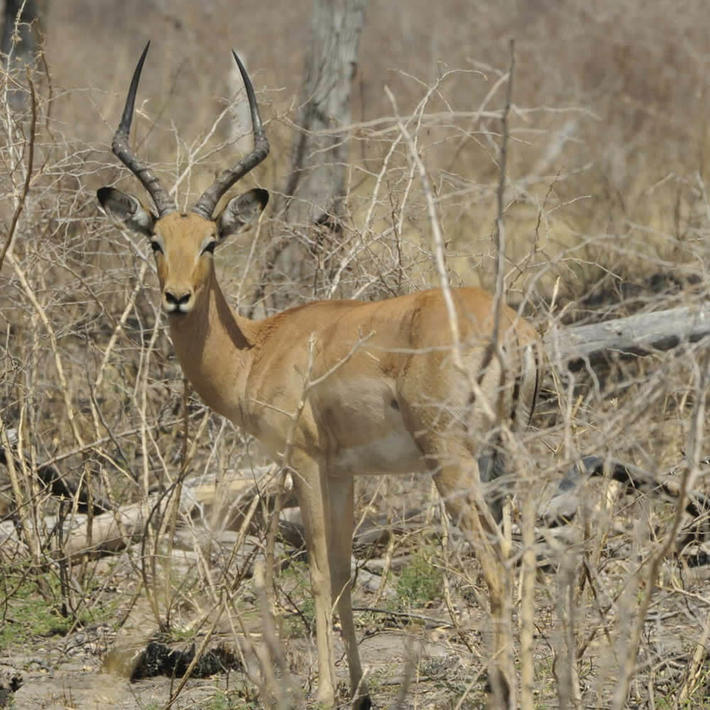 Impala. Photo: NACSO/WWF in Namibia