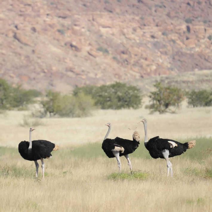 Ostriches. Photo: NACSO/WWF in Namibia