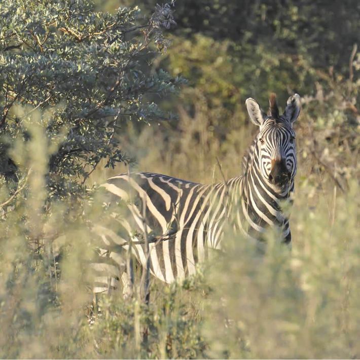 Zebra. Photo: NACSO/WWF in Namibia