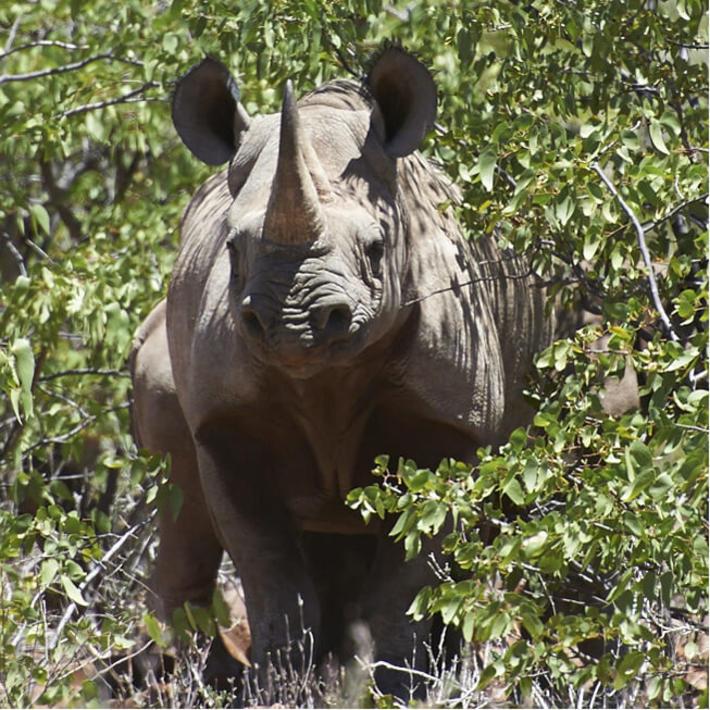 Black rhino. Photo: NACSO/WWF in Namibia