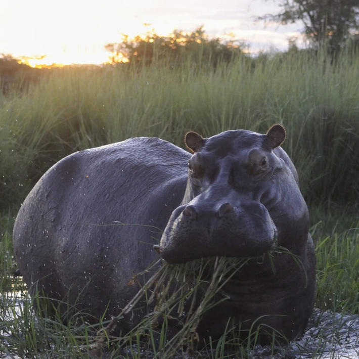 Hippopotamus. Photo: NACSO/WWF in Namibia