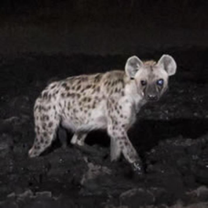 Spotted hyena. Photo: KAZA camera trap