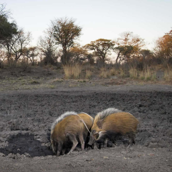 Bushpigs. Photo: NACSO/WWF in Namibia