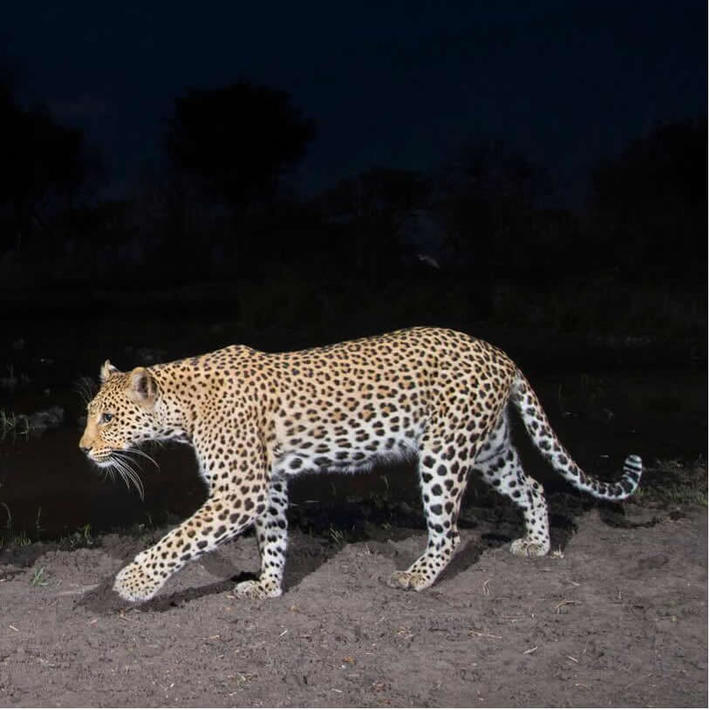 Leopard. Photo: NACSO/WWF in Namibia