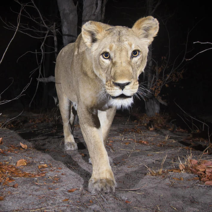 Lion. Photo: KAZA camera trap