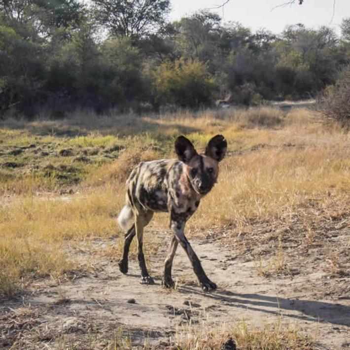 Wild dog. Photo: NACSO/WWF in Namibia