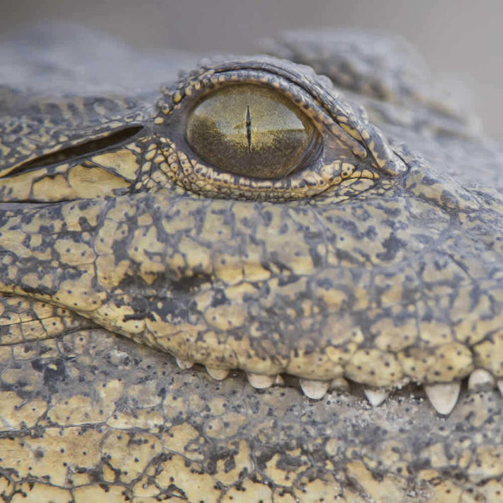 Crocodile. Photo: NACSO/WWF in Namibia