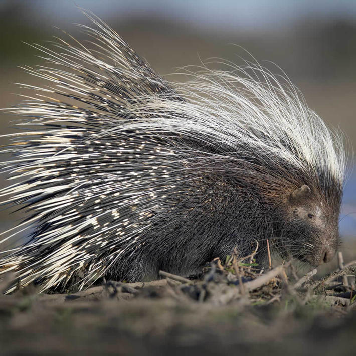 Porcupine. Photo: NACSO/WWF in Namibia