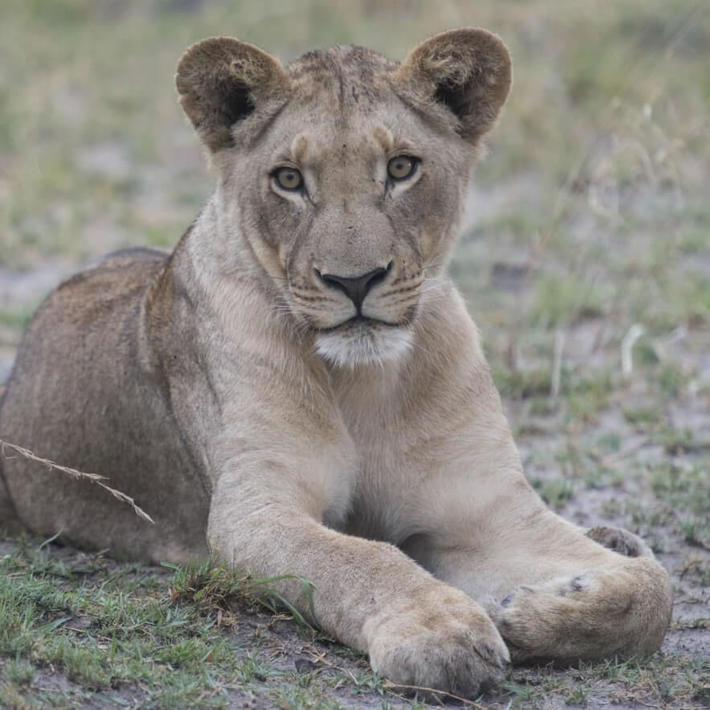 Lion. Photo: NACSO/WWF in Namibia