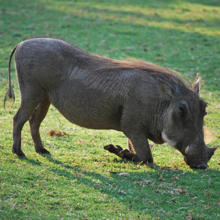 Warthog. Photo: Alice Jarvis