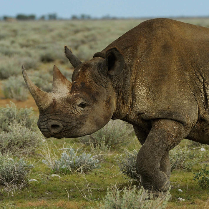Black rhino. Photo: Helge Denker
