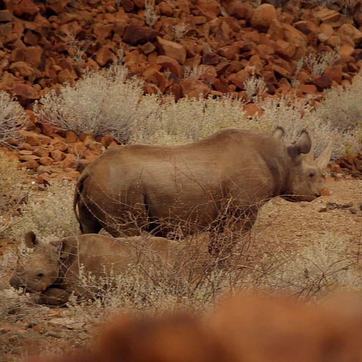 Black rhino. Photo: David Sandison