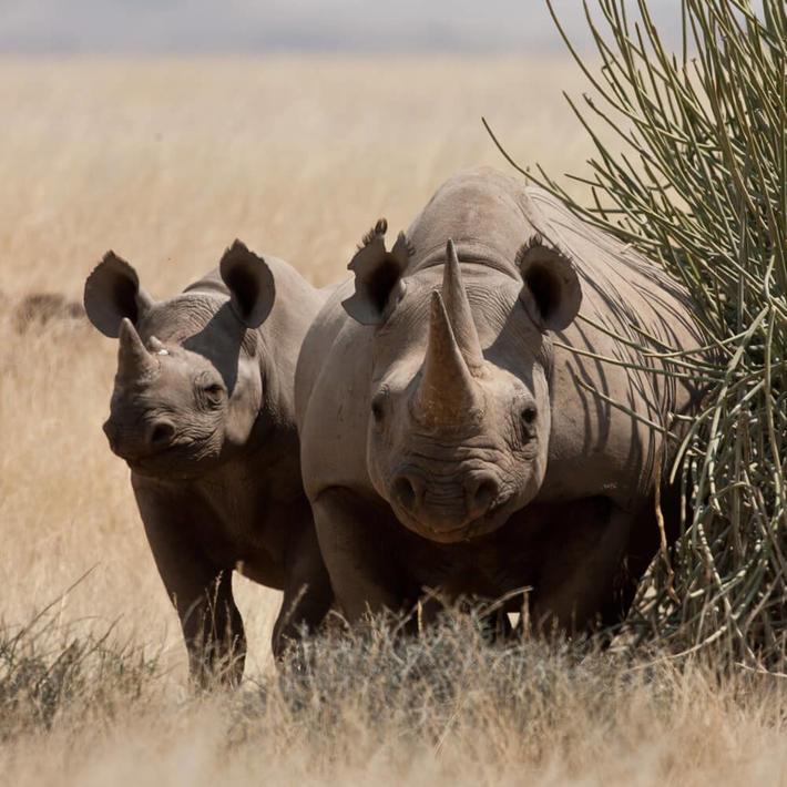 Black rhino. Photo: Dave Hamman