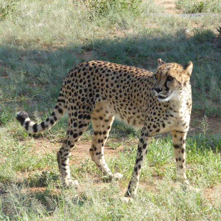 Cheetah. Photo: Sasha Jarvis