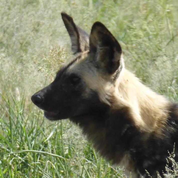 Wild dog. Photo: Sasha Jarvis