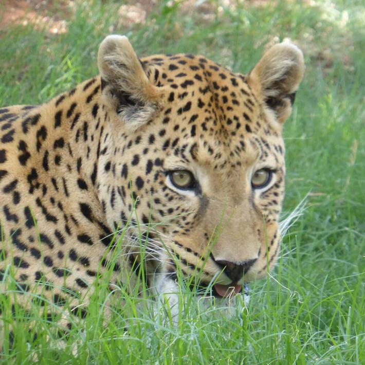 Leopard. Photo: Sasha Jarvis