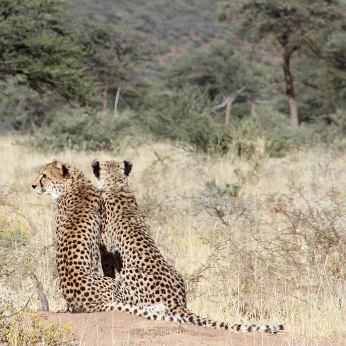 Cheetah. Photo: Ginger Mauney